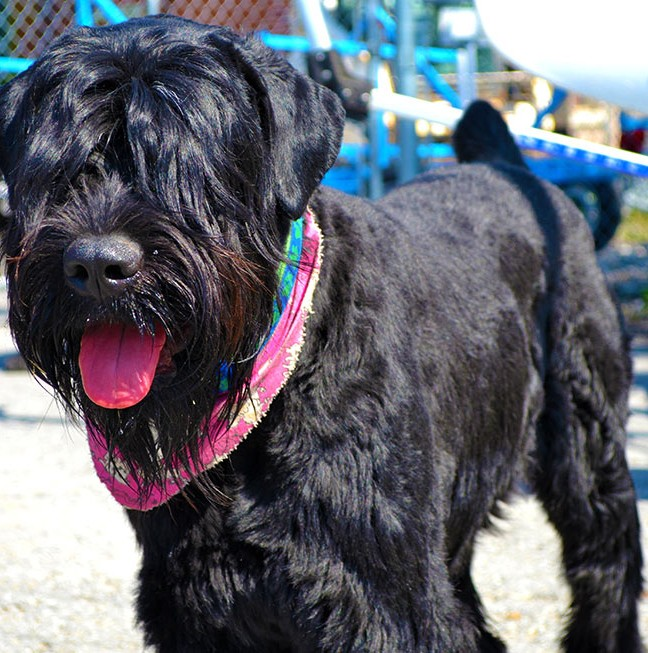 Mischa - the friendliest black Russian terrier you'll ever meet!